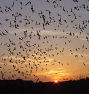 Photo of bats flying en masse at twilight.