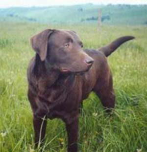 Del has a chocolate lab named Luke.