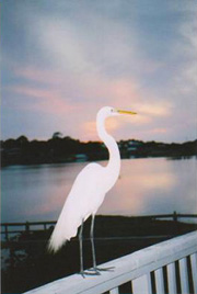 Photo of an egret on a deck railing at sunset.