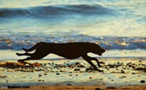 Photo of a labrador retriever running on the beach.